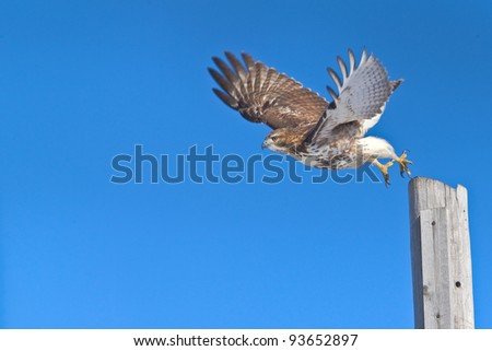 Red-tailed hawk in flight, chasing a prey.  Latin name - Buteo jamaicensis. Copy space for additions.