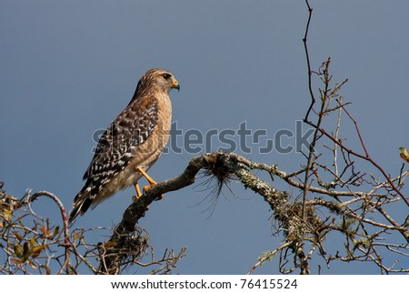 Red tailed hawk in profile perched on branch