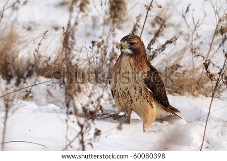 Red-Tailed Hawk in the snow.