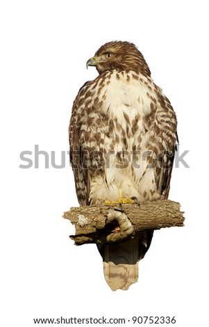 Red-Tailed Hawk Isolated on White
