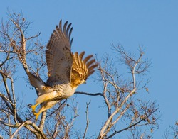 Red-tailed hawk lifting off.  Shot at San Jacinto Monument Park, near Houston, Texas.