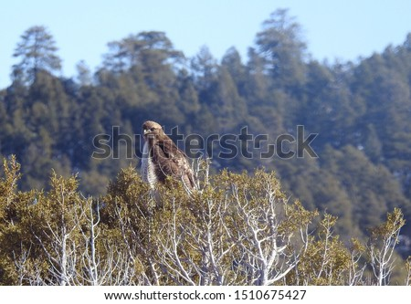 Red - tailed hawk, Mormon Lake,  Coconino  County, Arizona.