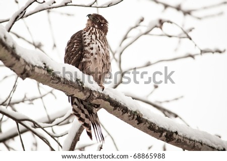 Red Tailed Hawk on branch in winter