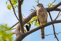 Red-tailed hawk on tree branch. An elegant red-tailed hawk is seen Perching in the Tree.