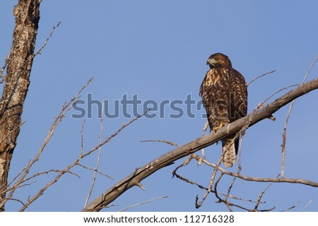 Red-tailed Hawk, perched in the branches of a deciduous tree with a clear blue sky background