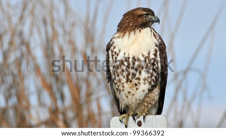 Red-Tailed Hawk perched on a Sign