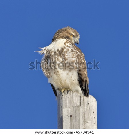 Red-tailed hawk perching on post. Buteo jamaicensis.