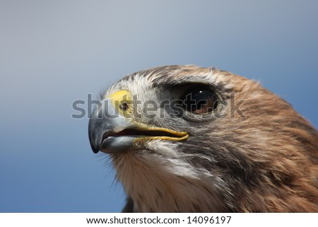 Red Tailed Hawk portrait looking to the left