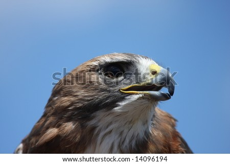 Red Tailed Hawk portrait looking to the right