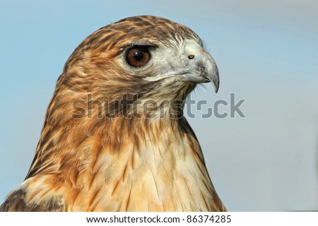 Red tailed Hawk Profile Photo