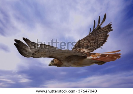 Red Tailed Hawk soaring through the sky in search of prey.