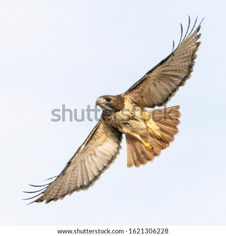 Red-Tailed Hawk Wings Wide - A red-tailed hawk soars high with wings fully extended. Platteville, Colorado. Сток-фото ©