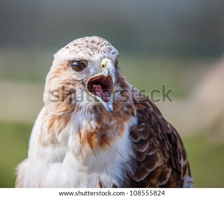 Red tailed hawk with beak open squawking