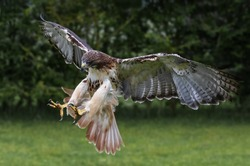 Red-tailed hawk with talons extended as it pounces.