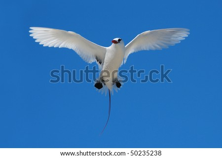 Red-tailed Tropicbird hovering over its nest on the Great Barrier Reef
