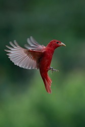 Red tanager in green vegetation. Bird on the big palm leave. Summer Tanager, Piranga rubra, red bird in the nature habitat. Tanager sitting on the big green palm tree. Wildlife scene from natur
