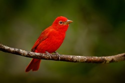 Red tanager in green vegetation. Red tanager on the big palm leave. Summer Tanager, Piranga rubra, red bird in the nature habitat. Tanager sitting on the big green palm tree. Wildlife scene from natur