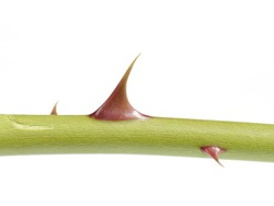 Red thorns on a rose stem