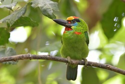 red-throated-barbet  Lives in the moist rainforest.