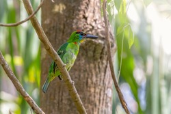 Red-throated Barbet (Megalaima mystacophanos) in Thailand