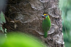 Red throated Barbet (Megalaima mystacophanos) in Thailand jungle