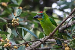 Red-Throated Barbet sitting on the branch for fruits.