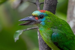 Red-throated Barbet with colorful feathers.
