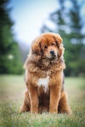 Red tibetan mastiff dog posing outside in the park.