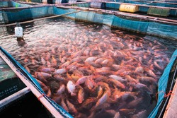 Red tilapia fish farming,Fishery on a river, Thailand