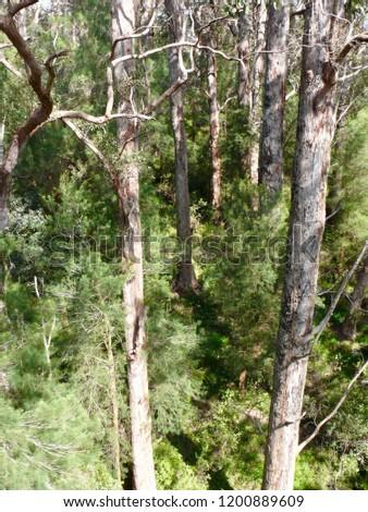 Red Tingle forest Denmark Western Australia #1200889609