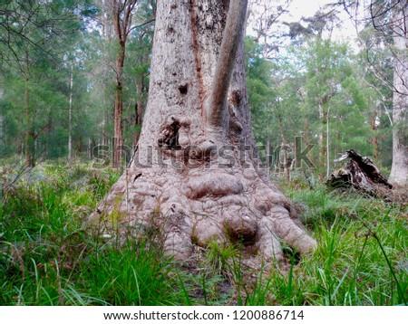 Red Tingle Giant Denmark Western Australia #1200886714
