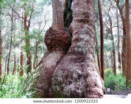 Red Tingle Valley of the Giants Walpole Western Australia #1200922333