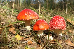 Red toad stools actual name - Fly Agaric (Amanita muscaria)