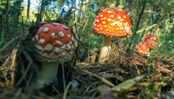 red toadstools in the forest, Amanita