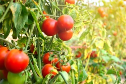 Red tomato on garden