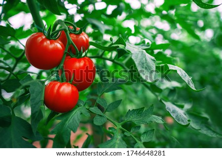 Red Tomatoes in a Greenhouse. Horticulture. Vegetables.  Foto stock ©