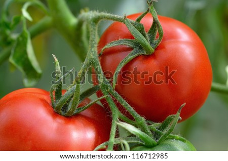Red  tomatoes in the garden. Shallow depth of field.