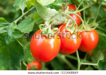red tomatoes on twigs.
