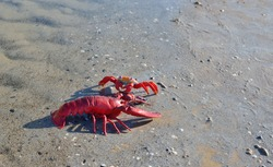 Red toy lobster on a sandy beach, close-up. Baltic sea, Latvia. Childhood, educational toys, science, biology concepts