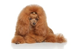 Red Toy poodle lying on a white background