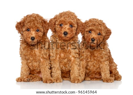 Poodle Puppies on Red Toy Poodle Puppies  2 Month  Posing On A White Background Stock