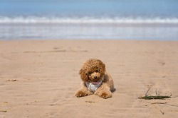 Red toy poodle puppy on a beach.