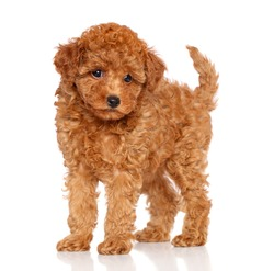 Red toy poodle puppy on a white background