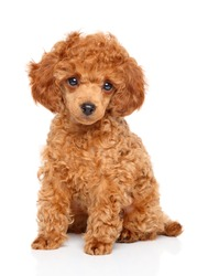 Red Toy Poodle puppy sits on white background