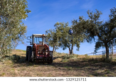 Red Tractor on a Hill in Olive Grove Italy, Farmer pruning Olive Trees