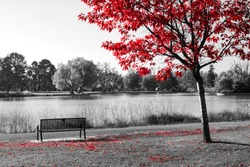 Red tree above an empty park bench in a black and white fall landscape scene