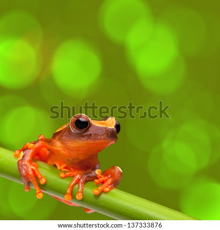 red tree frog climbing in tropical Amazon rain forest. Small amphibian with big eyes, Dendropsophus leucophyllatus from exotic jungle of Peru, brazil. Beautiful macro of small cute rainforest animal - stock photo