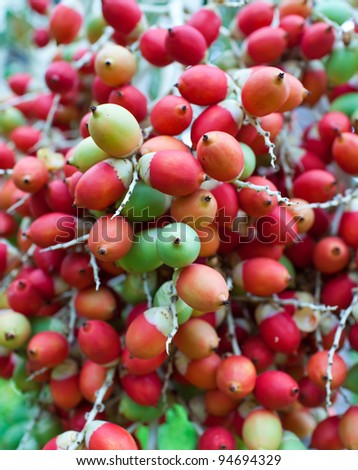 Red tropical berries -Fruit of the Christmas Palm (Manila Palm -Adonidia Merrillii)