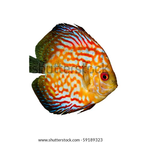 Red tropical Symphysodon discus fish isolated on white