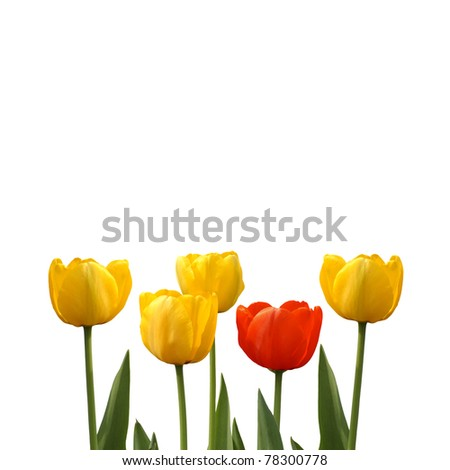 red tulip among yellow tulips on a white background, isolated flower, closeup